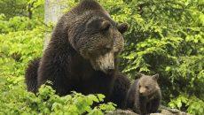 Гъбар нокаутира мечка, тя му отхапа носа