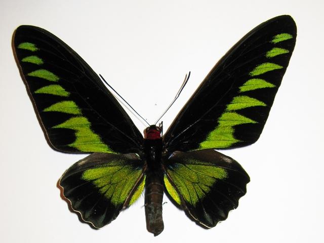 cc9c5-Trogonoptera_brookiana-266