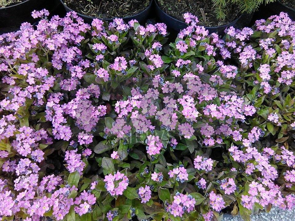cvetna prolet (16)