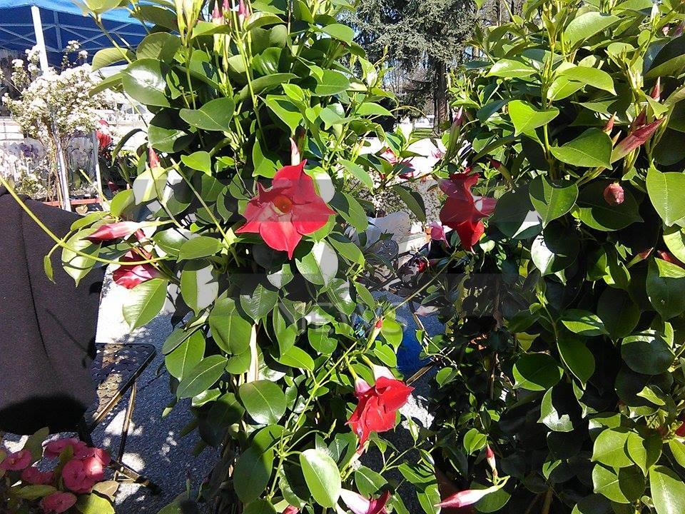 cvetna prolet (2)