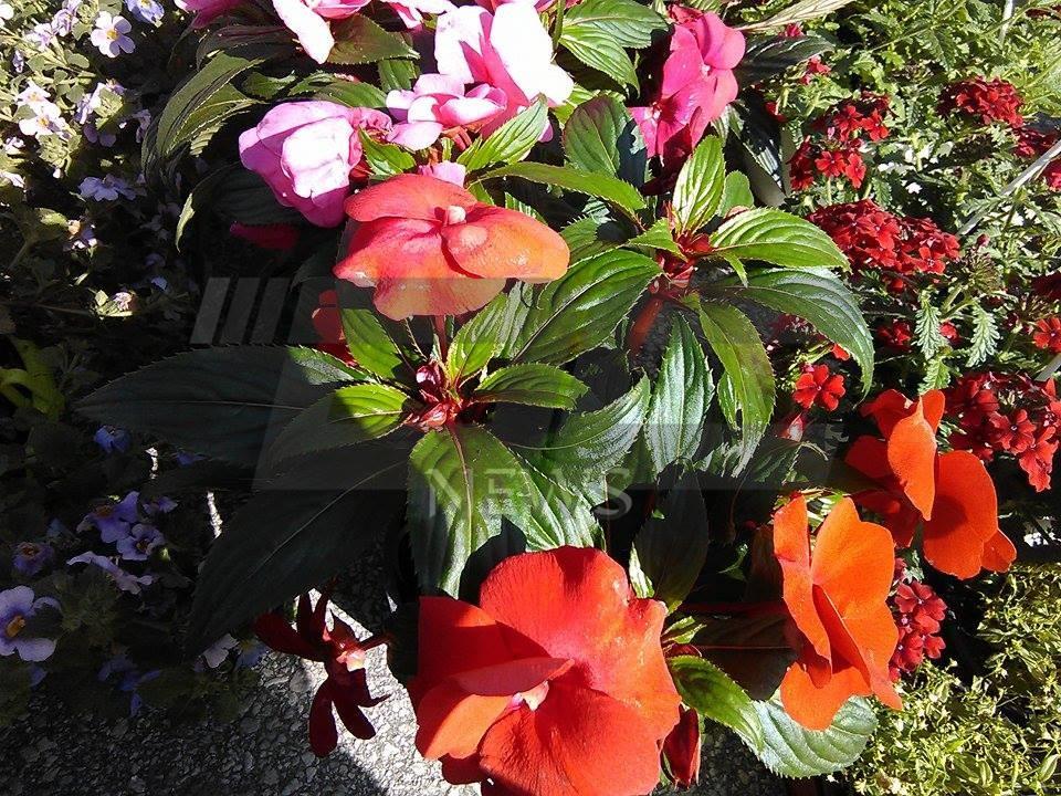 cvetna prolet (5)