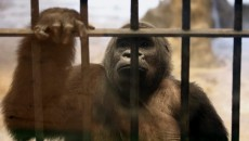 Zoo denies having agreed to free female gorilla from shopping mall enclosure