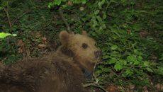Горски спасиха мечето Джими от бракониери