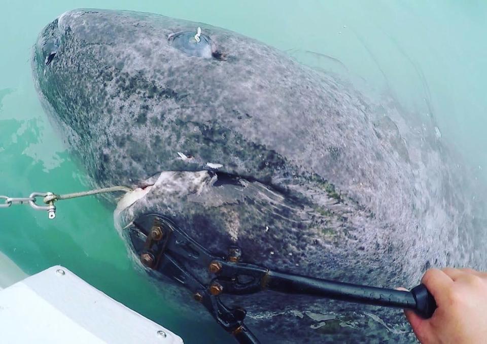 Уловиха най-старата акула в света