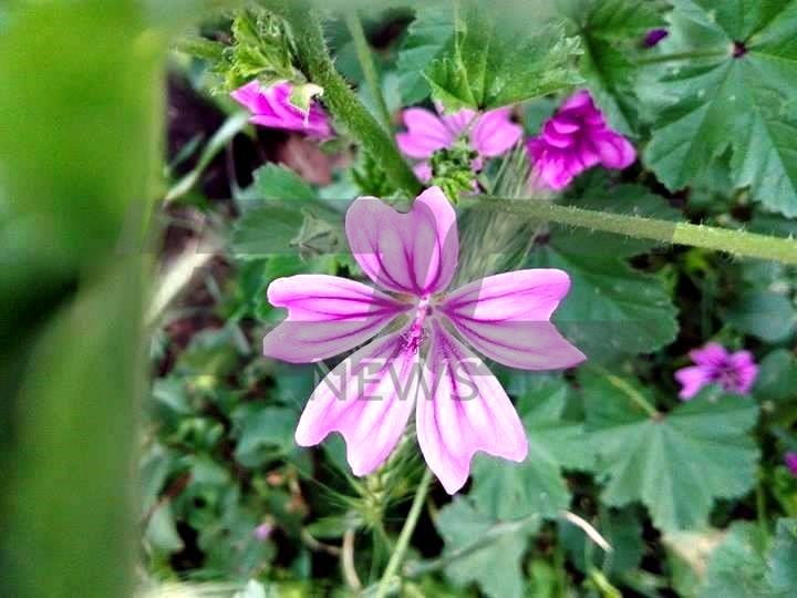 vreme cvetia (1)