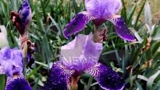 vreme cvetia (2)