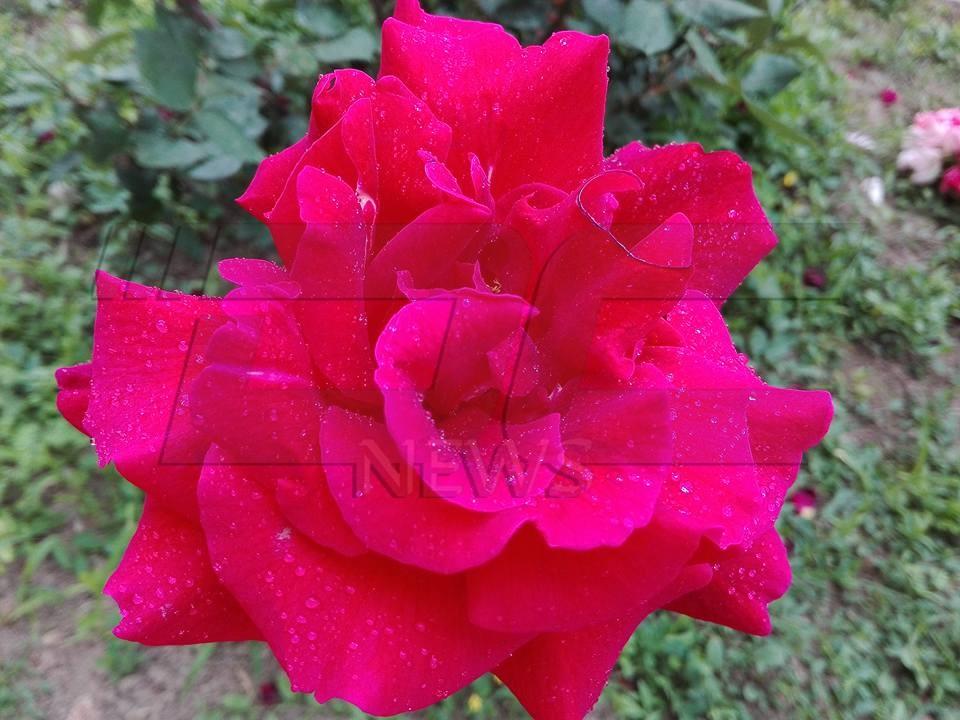 времето роза